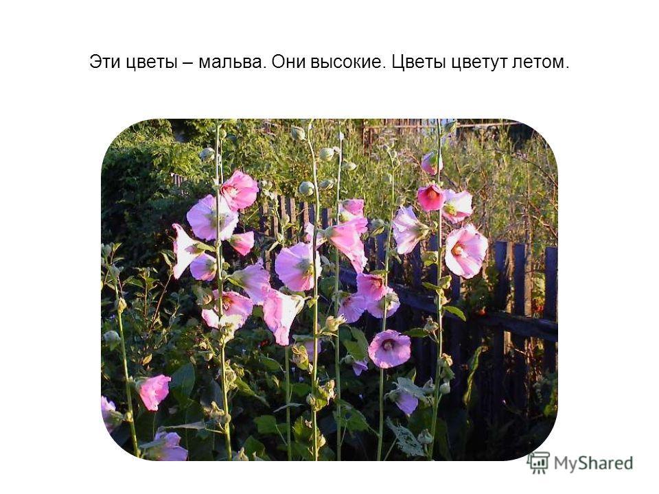 Эти цветы – мальва. Они высокие. Цветы цветут летом.
