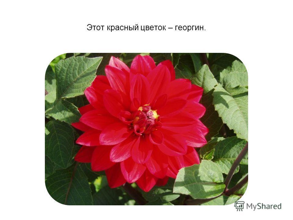 Этот красный цветок – георгин.