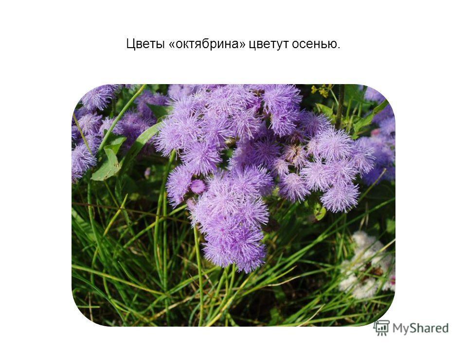 Цветы «октябрина» цветут осенью.