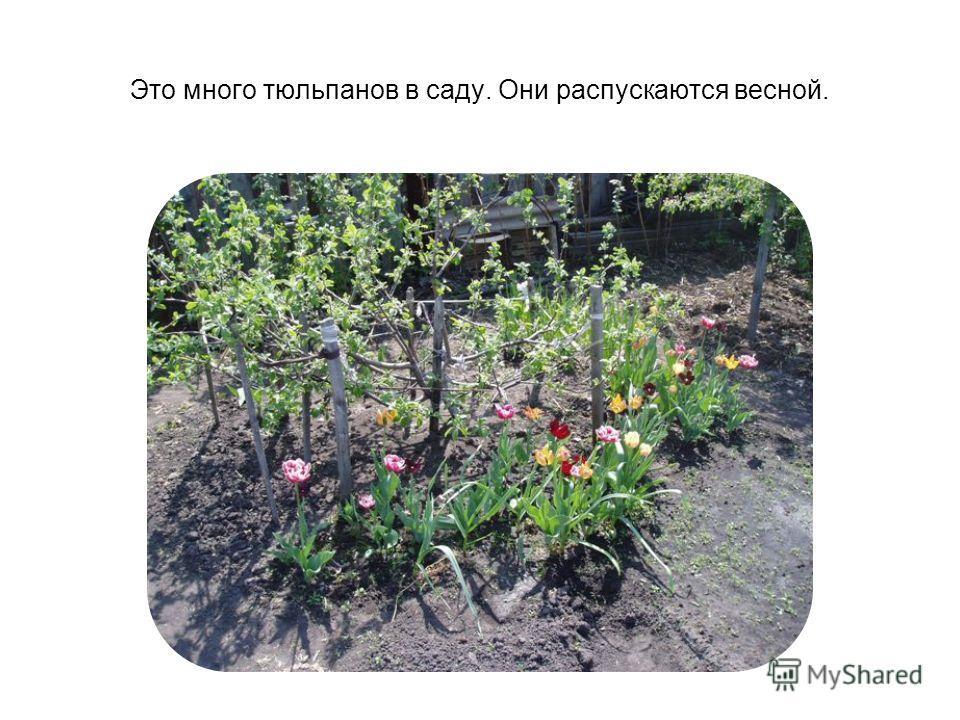 Это много тюльпанов в саду. Они распускаются весной.