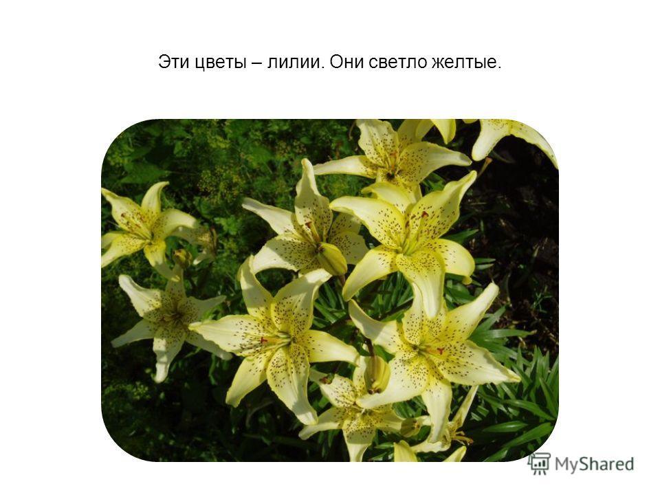Эти цветы – лилии. Они светло желтые.