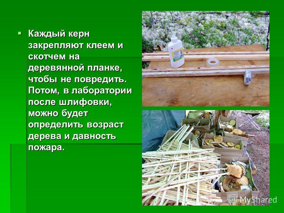 Каждый керн закрепляют клеем и скотчем на деревянной планке, чтобы не повредить. Потом, в лаборатории после шлифовки, можно будет определить возраст дерева и давность пожара. Каждый керн закрепляют клеем и скотчем на деревянной планке, чтобы не повре