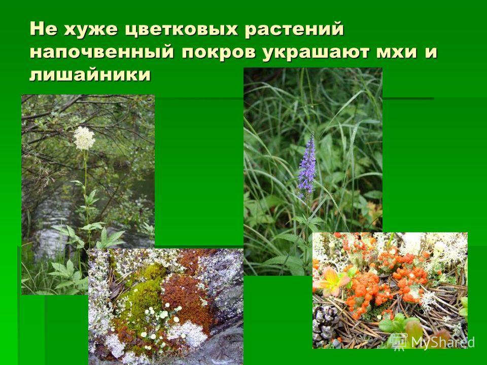 Не хуже цветковых растений напочвенный покров украшают мхи и лишайники