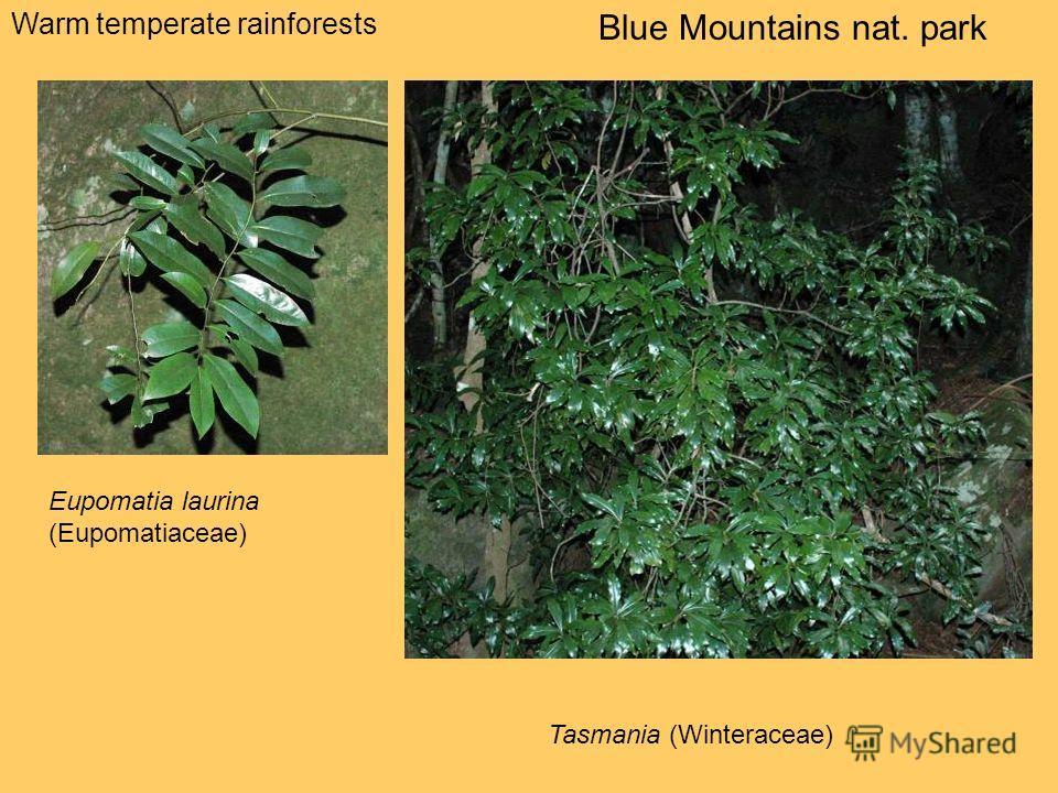 Warm temperate rainforests Blue Mountains nat. park Eupomatia laurina (Eupomatiaceae) Tasmania (Winteraceae)