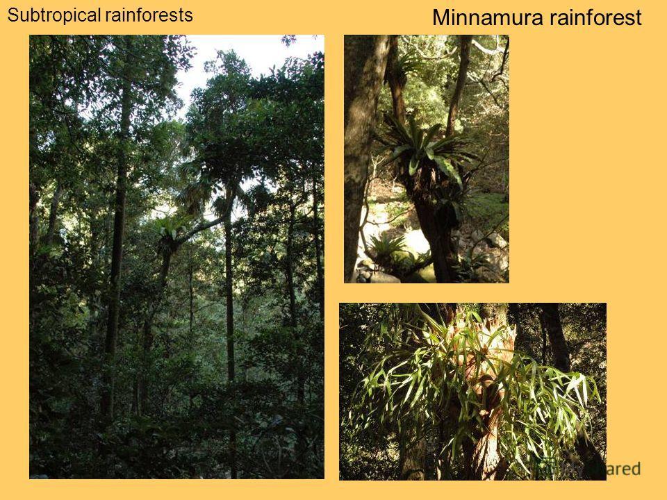 Subtropical rainforests Minnamura rainforest