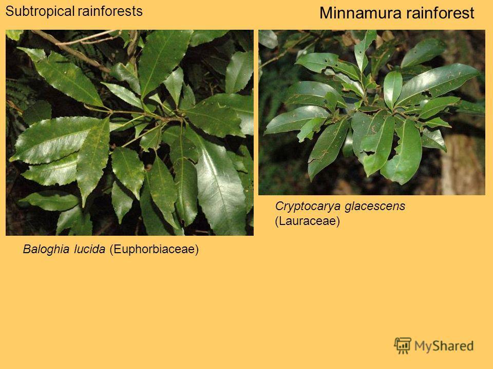 Subtropical rainforests Minnamura rainforest Baloghia lucida (Euphorbiaceae) Cryptocarya glacescens (Lauraceae)