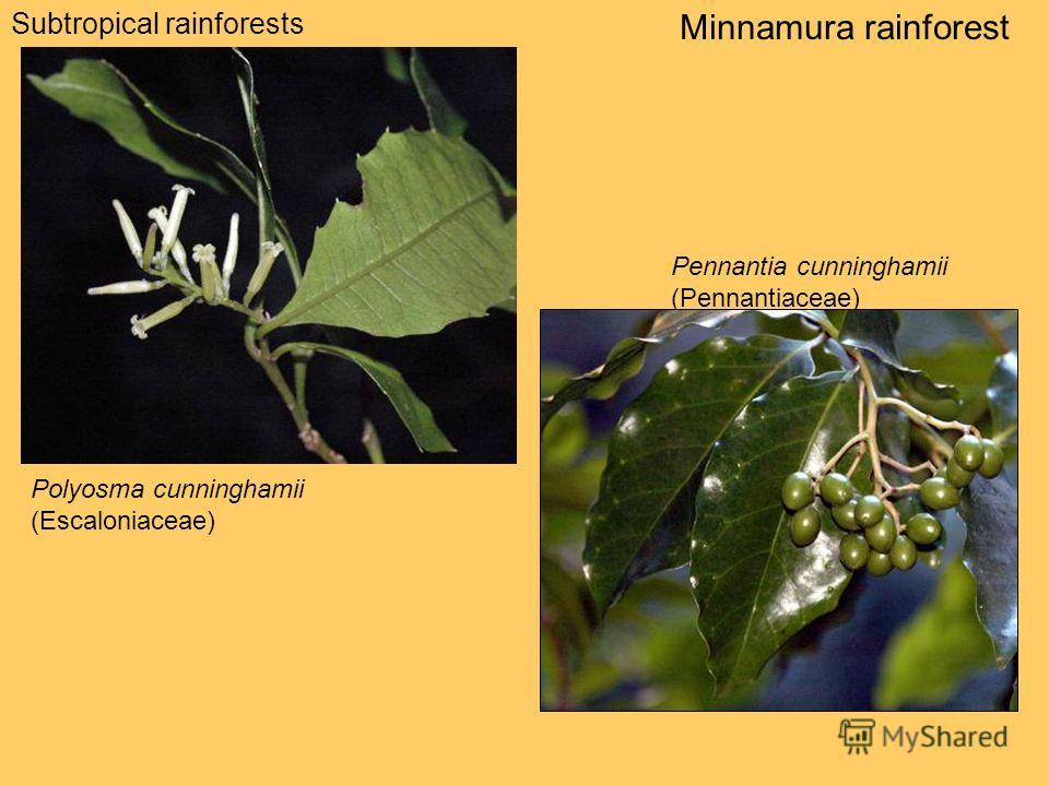 Subtropical rainforests Minnamura rainforest Polyosma cunninghamii (Escaloniaceae) Pennantia cunninghamii (Pennantiaceae)