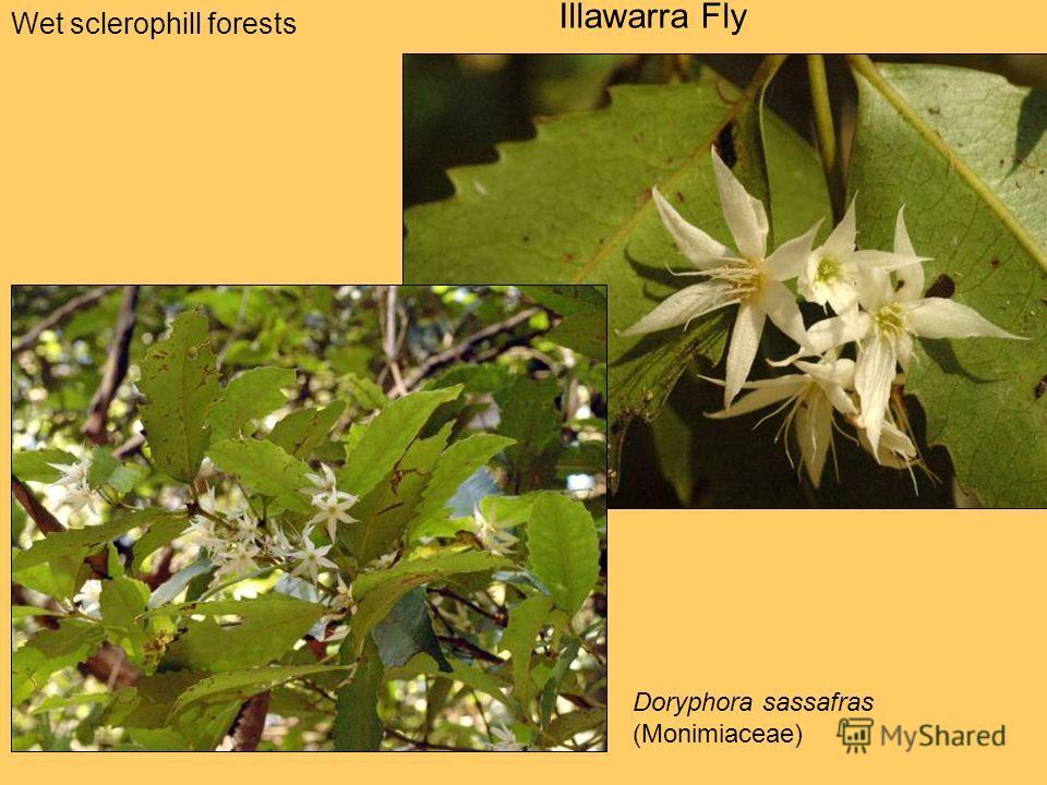 Wet sclerophill forests Illawarra Fly Doryphora sassafras (Monimiaceae)