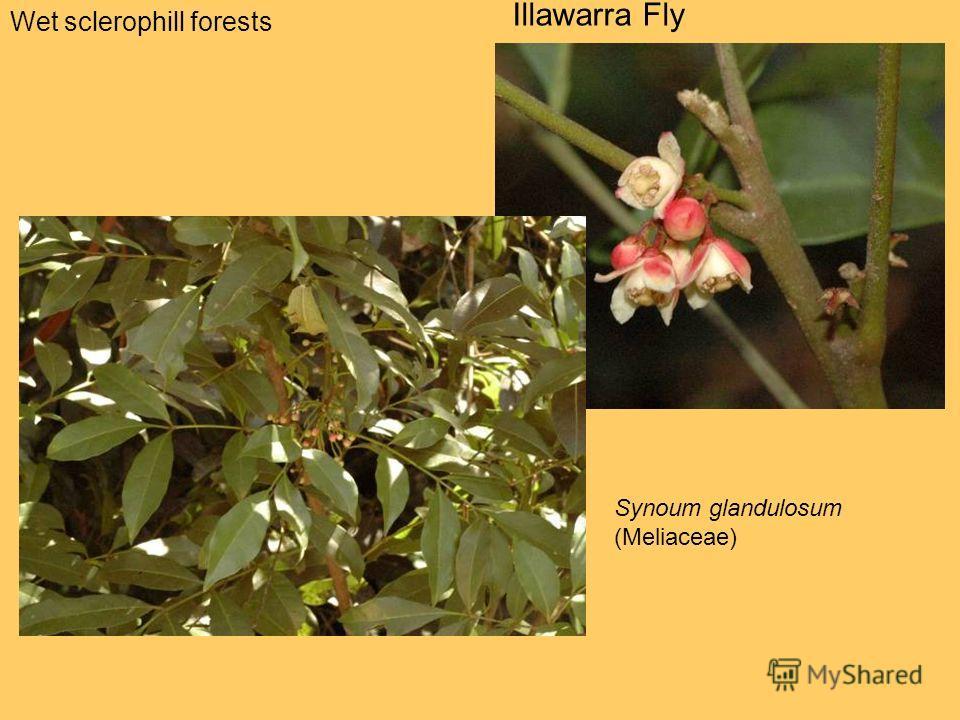 Wet sclerophill forests Illawarra Fly Synoum glandulosum (Meliaceae)