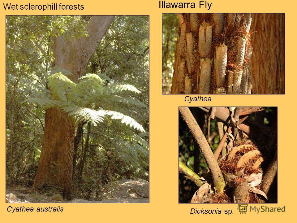 Wet sclerophill forests Illawarra Fly Cyathea australis Dicksonia sp. Cyathea