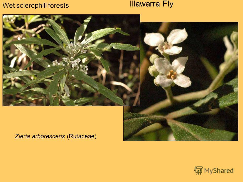 Wet sclerophill forests Illawarra Fly Zieria arborescens (Rutaceae)