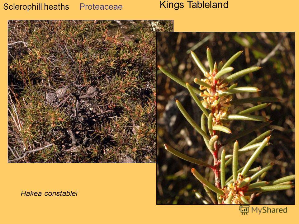 Sclerophill heaths Kings Tableland Hakea constablei Proteaceae