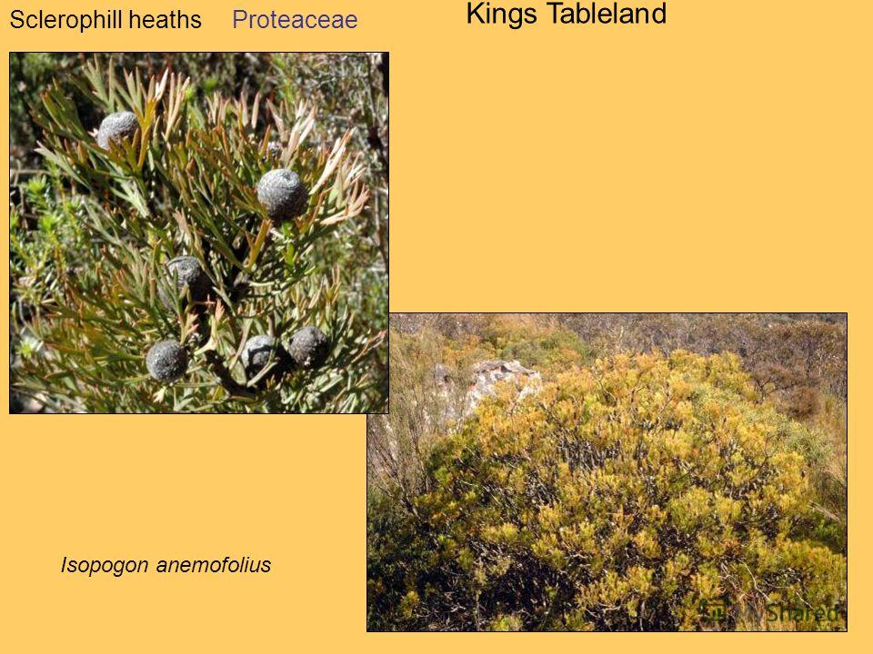 Sclerophill heaths Kings Tableland Isopogon anemofolius Proteaceae