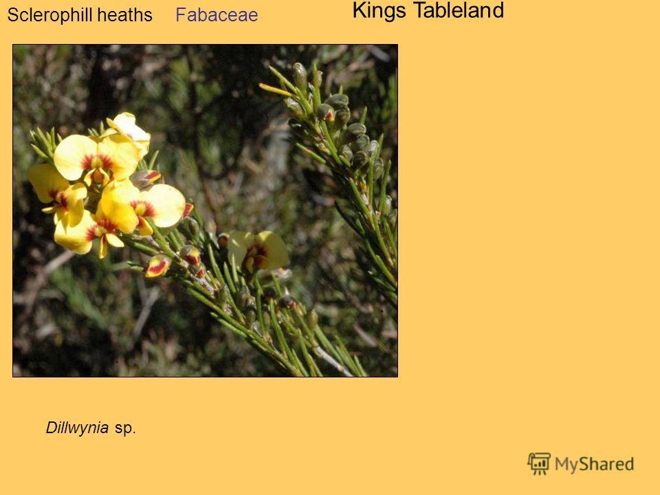 Sclerophill heaths Kings Tableland Dillwynia sp. Fabaceae