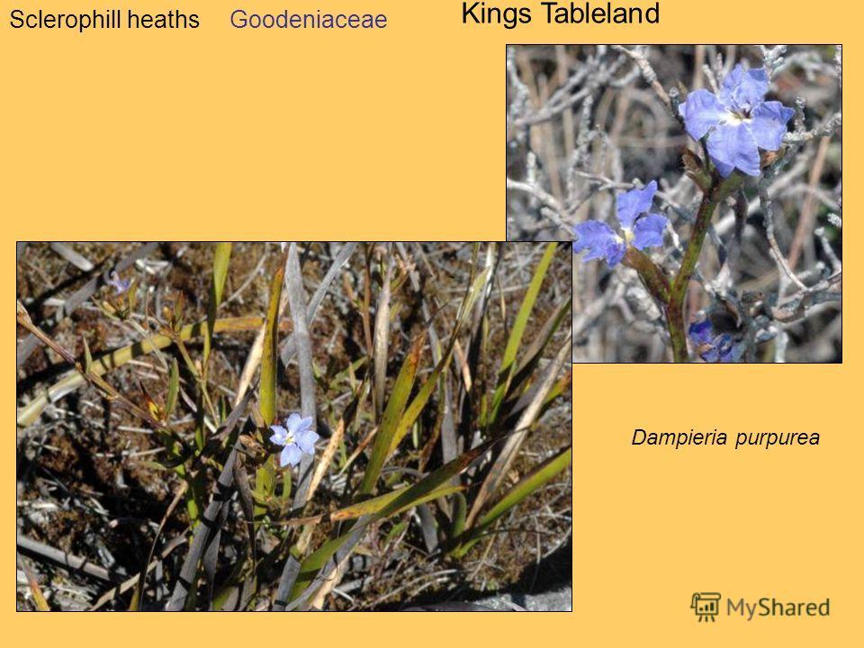 Sclerophill heaths Kings Tableland Dampieria purpurea Goodeniaceae
