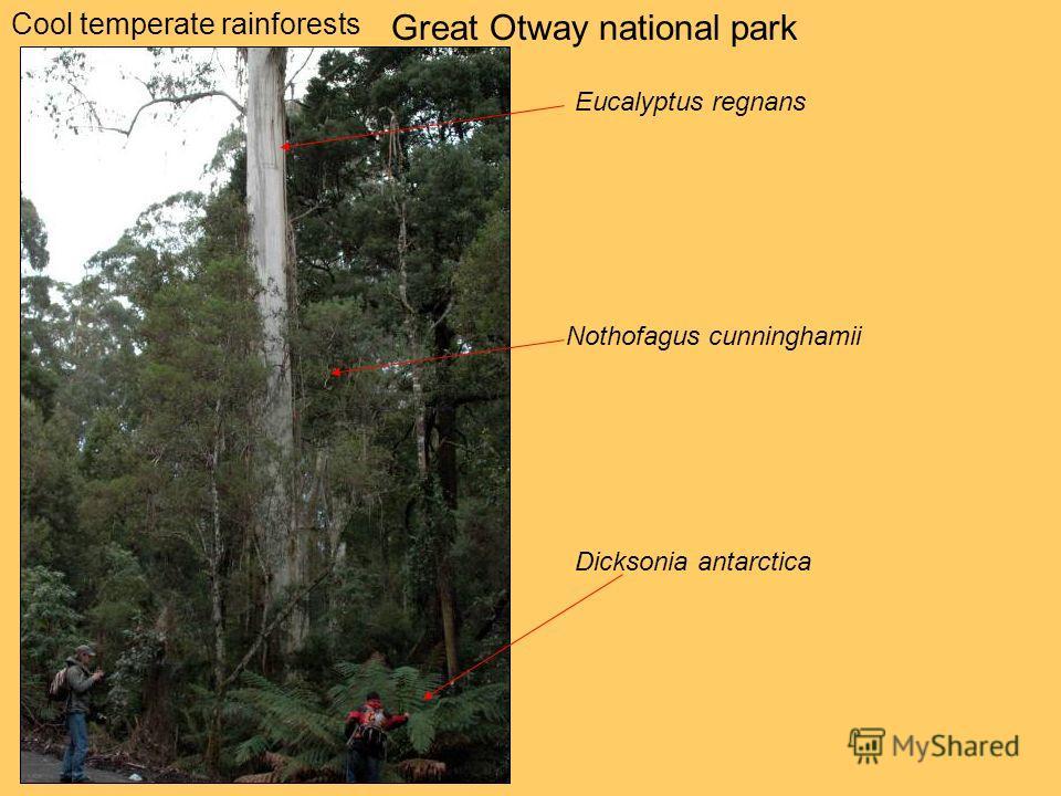 Cool temperate rainforests Great Otway national park Eucalyptus regnans Nothofagus cunninghamii Dicksonia antarctica