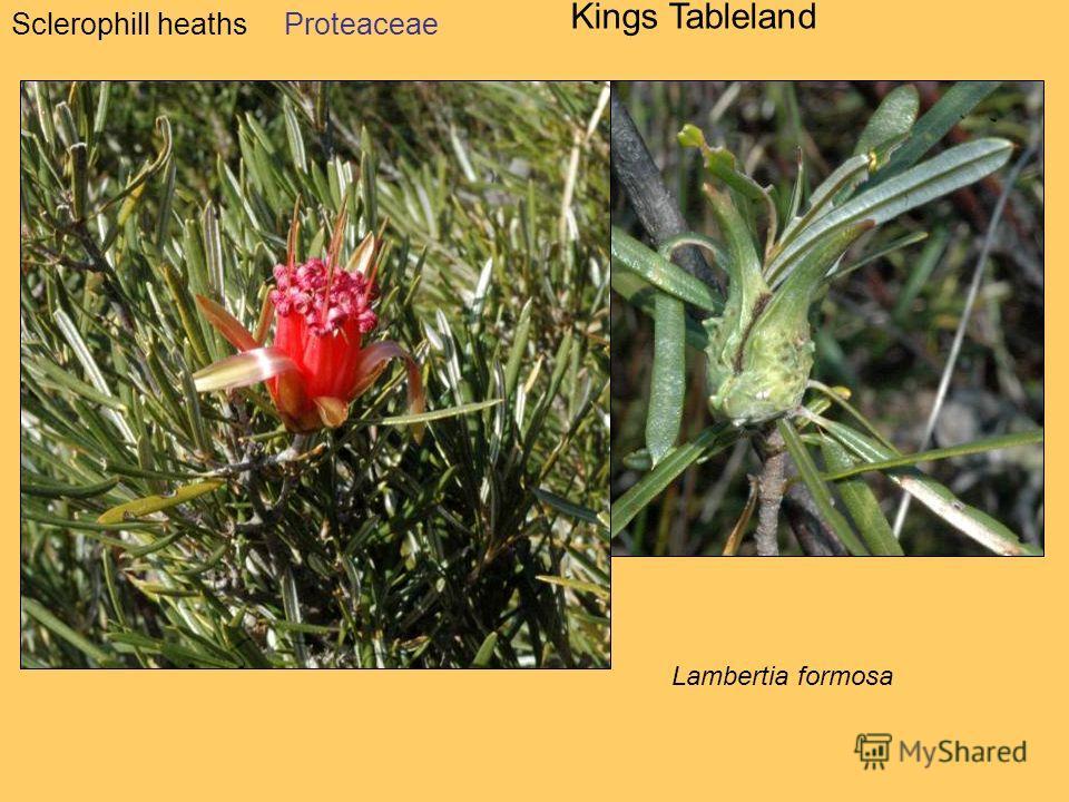 Sclerophill heaths Kings Tableland Proteaceae Lambertia formosa