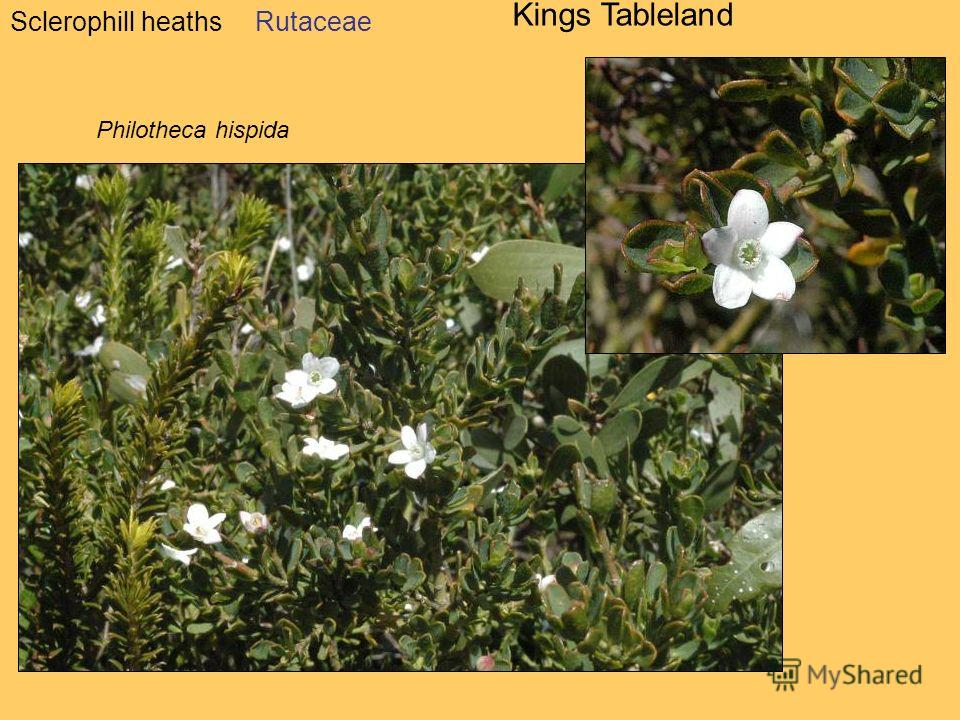 Sclerophill heaths Kings Tableland Rutaceae Philotheca hispida