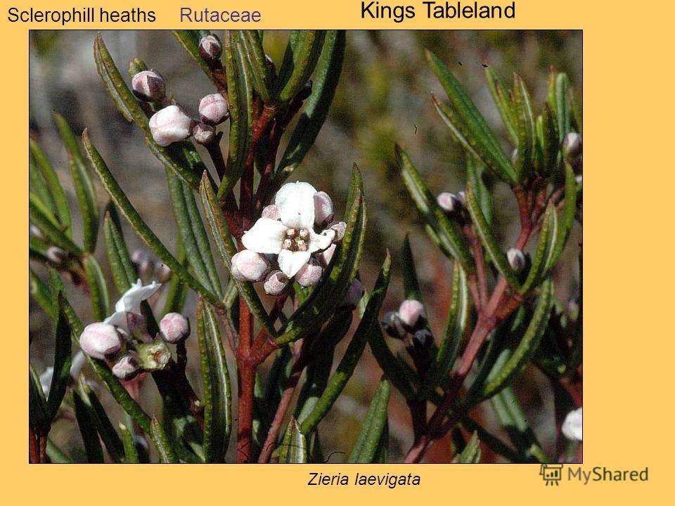 Sclerophill heaths Kings Tableland Rutaceae Zieria laevigata