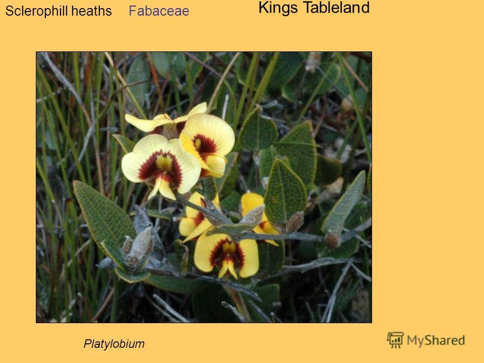 Sclerophill heaths Kings Tableland Fabaceae Platylobium