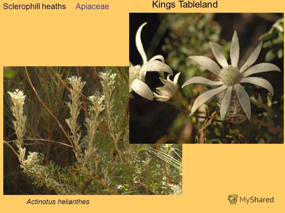 Sclerophill heaths Kings Tableland Apiaceae Actinotus helianthes