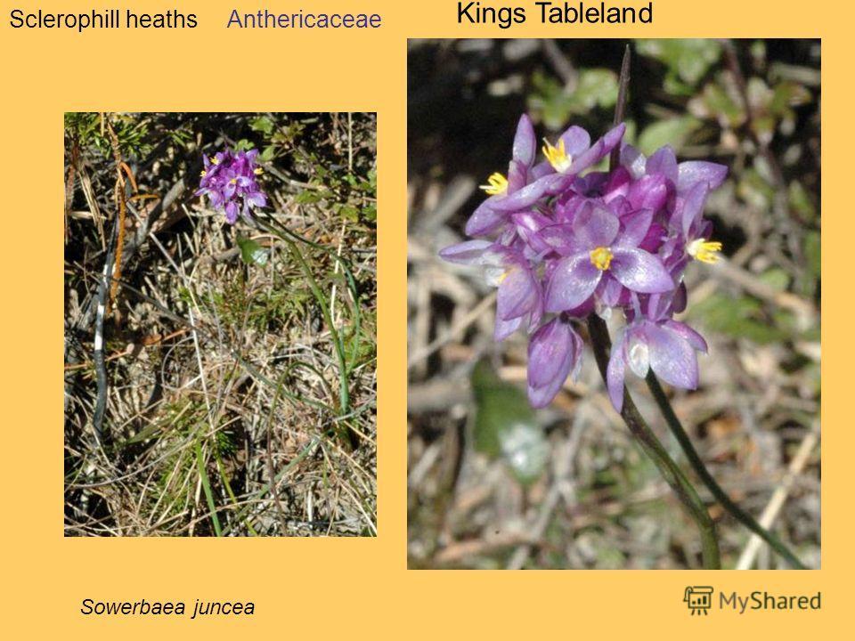 Sclerophill heaths Kings Tableland Anthericaceae Sowerbaea juncea