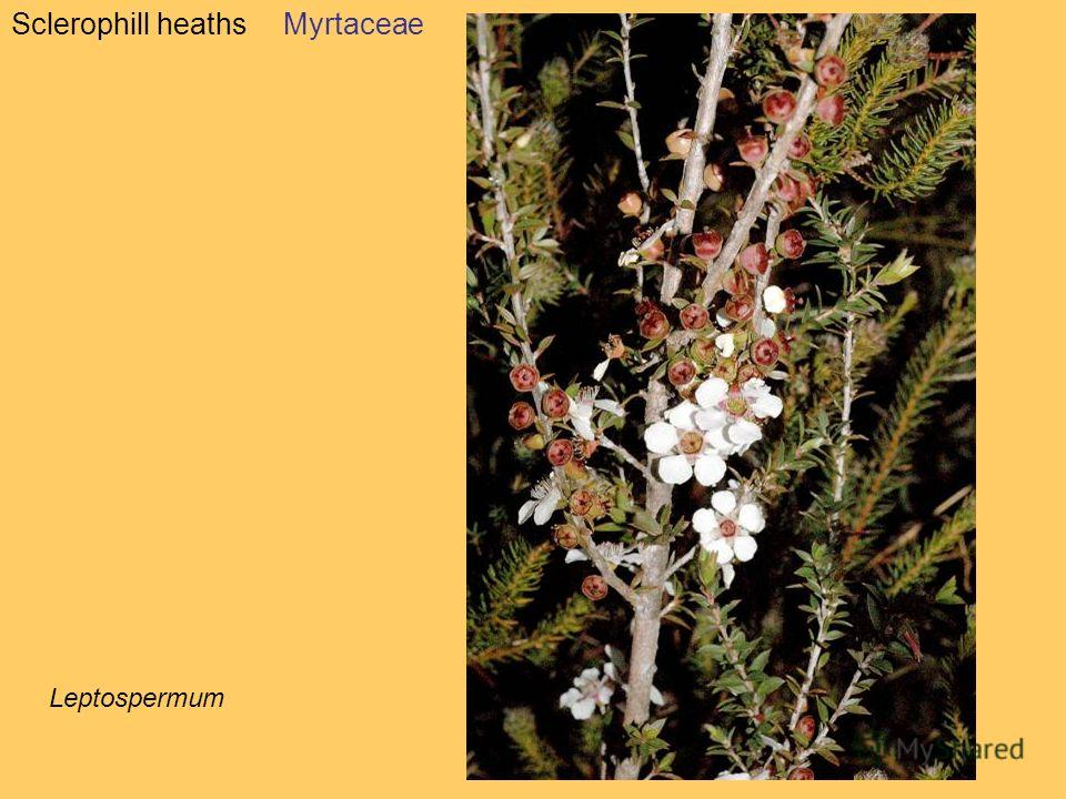 Sclerophill heathsMyrtaceae Leptospermum