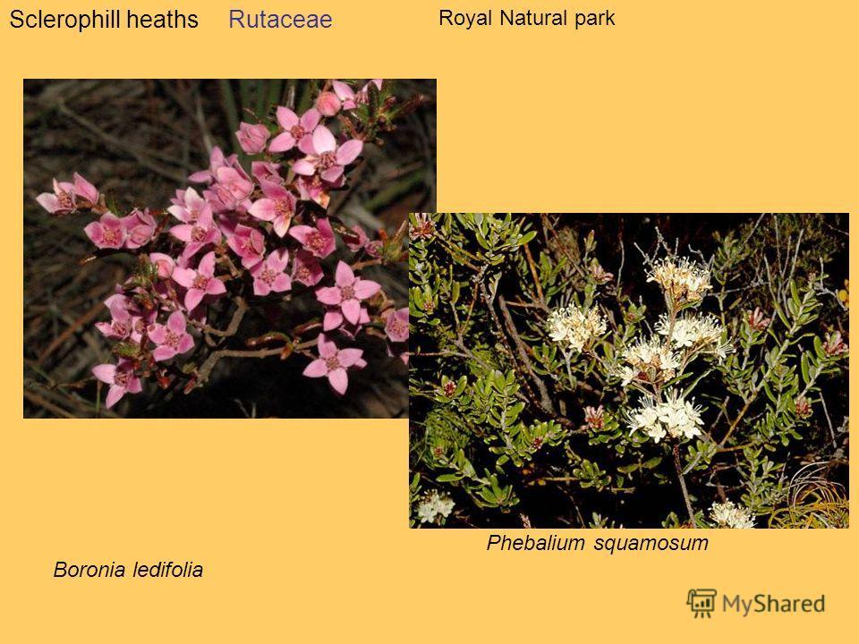 Sclerophill heathsRutaceae Phebalium squamosum Boronia ledifolia Royal Natural park