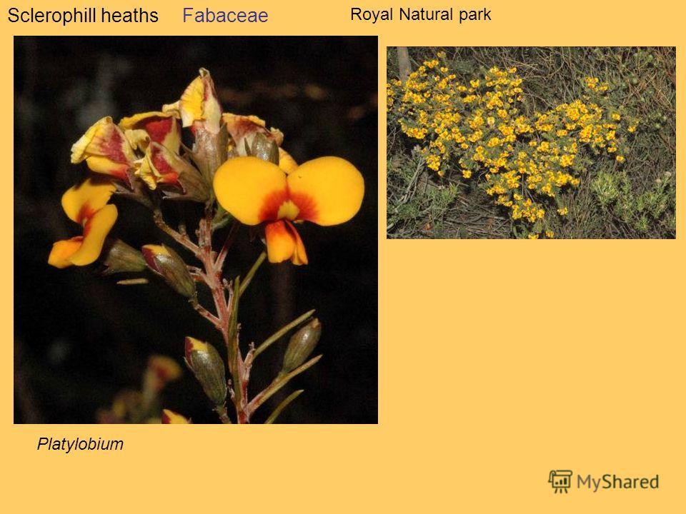Sclerophill heathsFabaceae Platylobium Royal Natural park