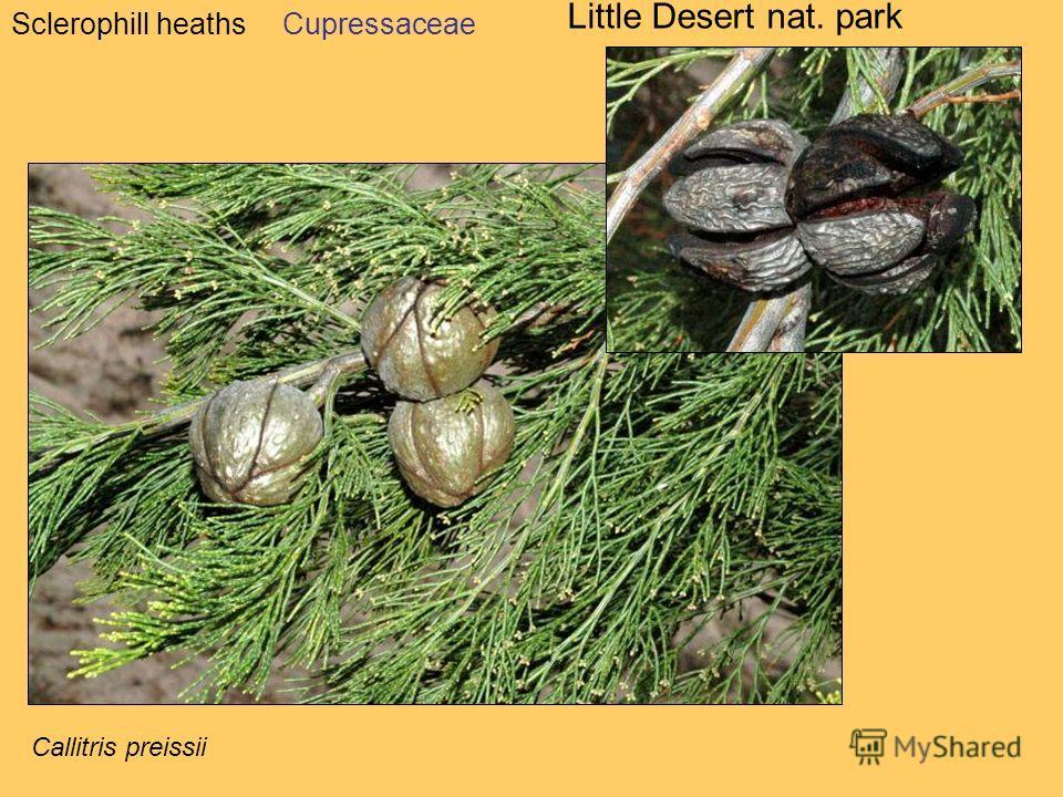 Sclerophill heaths Little Desert nat. park Cupressaceae Callitris preissii