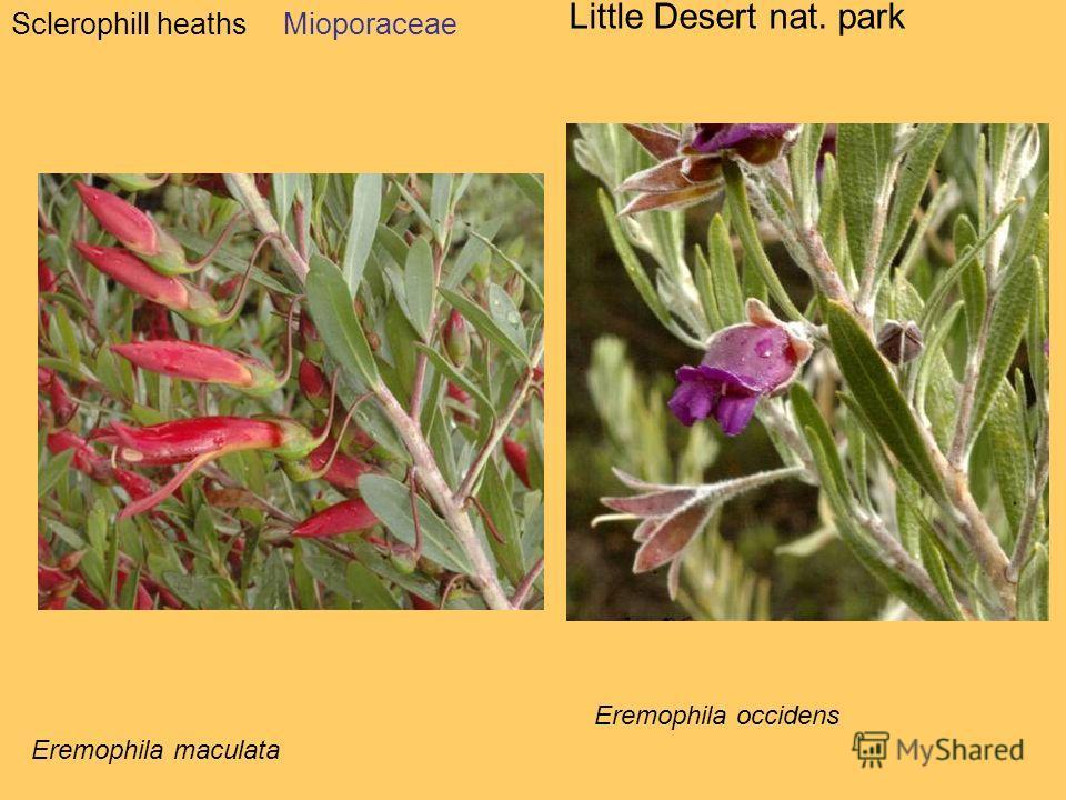 Sclerophill heaths Little Desert nat. park Mioporaceae Eremophila maculata Eremophila occidens