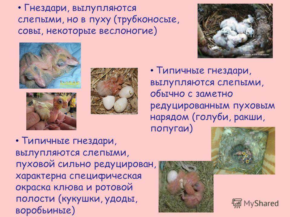 Гнездари, вылупляются слепыми, но в пуху (трубконосые, совы, некоторые веслоногие) Типичные гнездари, вылупляются слепыми, обычно с заметно редуцированным пуховым нарядом (голуби, ракши, попугаи) Типичные гнездари, вылупляются слепыми, пуховой сильно