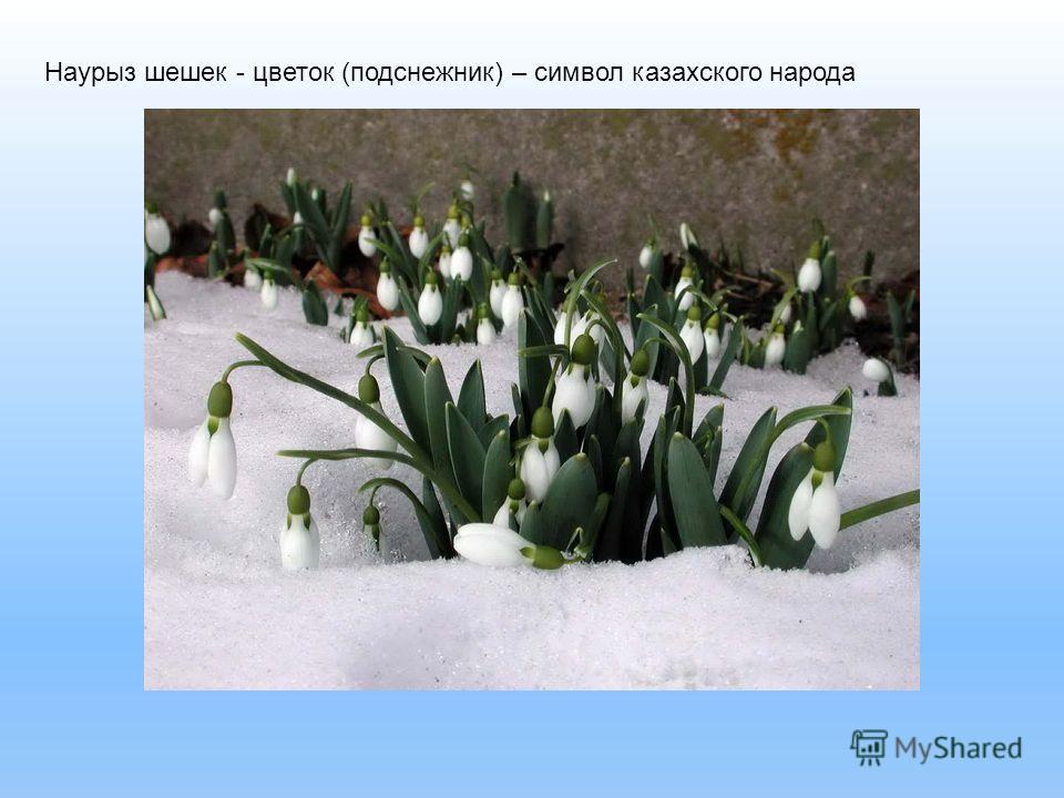 Наурыз шешек - цветок (подснежник) – символ казахского народа