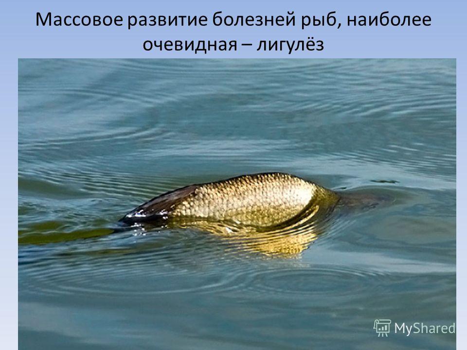 Массовое развитие болезней рыб, наиболее очевидная – лигулёз