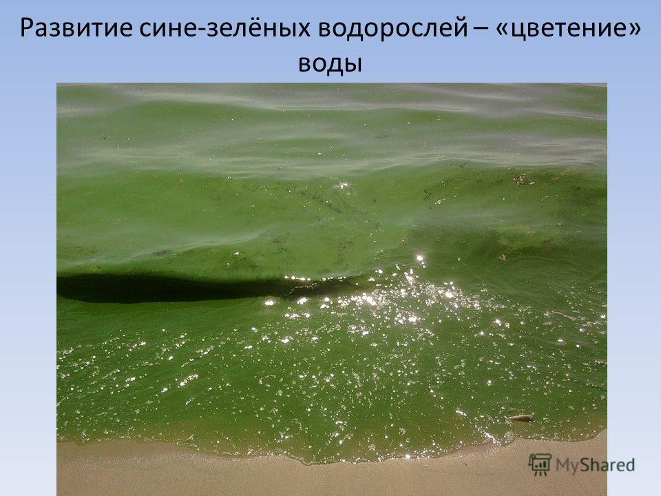 Развитие сине-зелёных водорослей – «цветение» воды