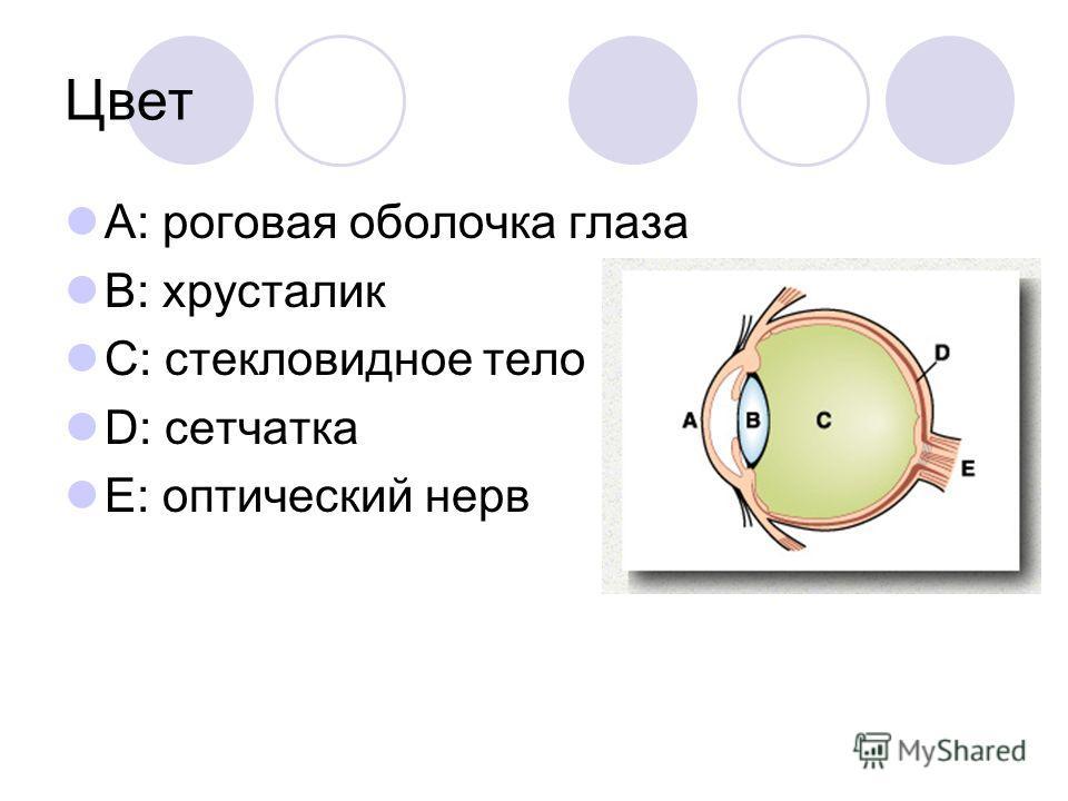 Цвет A: роговая оболочка глаза B: хрусталик C: стекловидное тело D: сетчатка E: оптический нерв