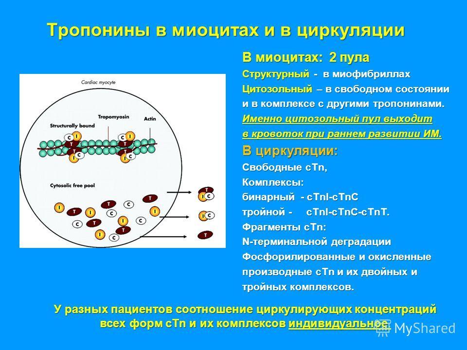 Тропонины в миоцитах и в циркуляции В миоцитах: 2 пула Структурный - в миофибриллах Цитозольный – в свободном состоянии и в комплексе с другими тропонинами. Именно цитозольный пул выходит в кровоток при раннем развитии ИМ. В циркуляции: Свободные cTn