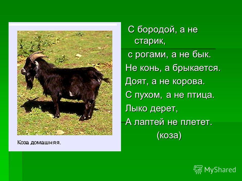 С бородой, а не старик, с рогами, а не бык. Не конь, а брыкается. Доят, а не корова. С пухом, а не птица. Лыко дерет, А лаптей не плетет. (коза)
