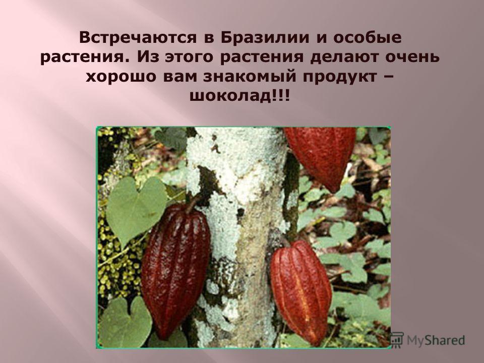 Встречаются в Бразилии и особые растения. Из этого растения делают очень хорошо вам знакомый продукт – шоколад!!!