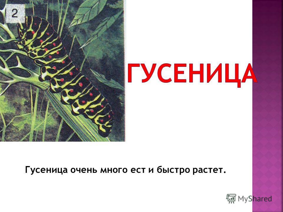 Гусеница очень много ест и быстро растет.