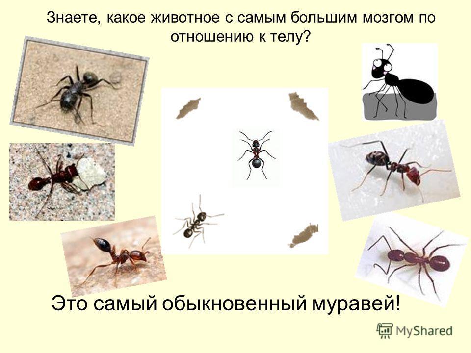 Это самый обыкновенный муравей! Знаете, какое животное с самым большим мозгом по отношению к телу?