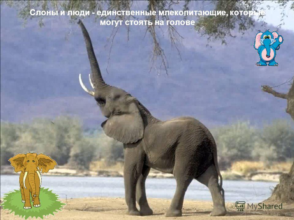 Слоны и люди - единственные млекопитающие, которые могyт стоять на голове