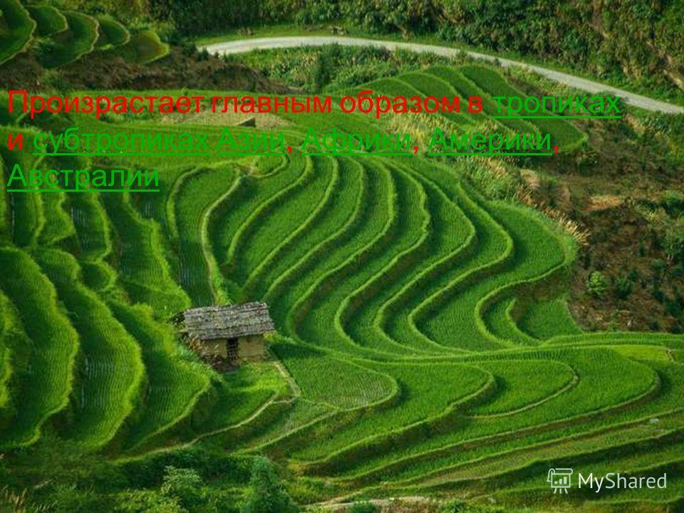 Рис является одной из самых древних посевных культур Его одомашнили около 9 тысяч лет назад