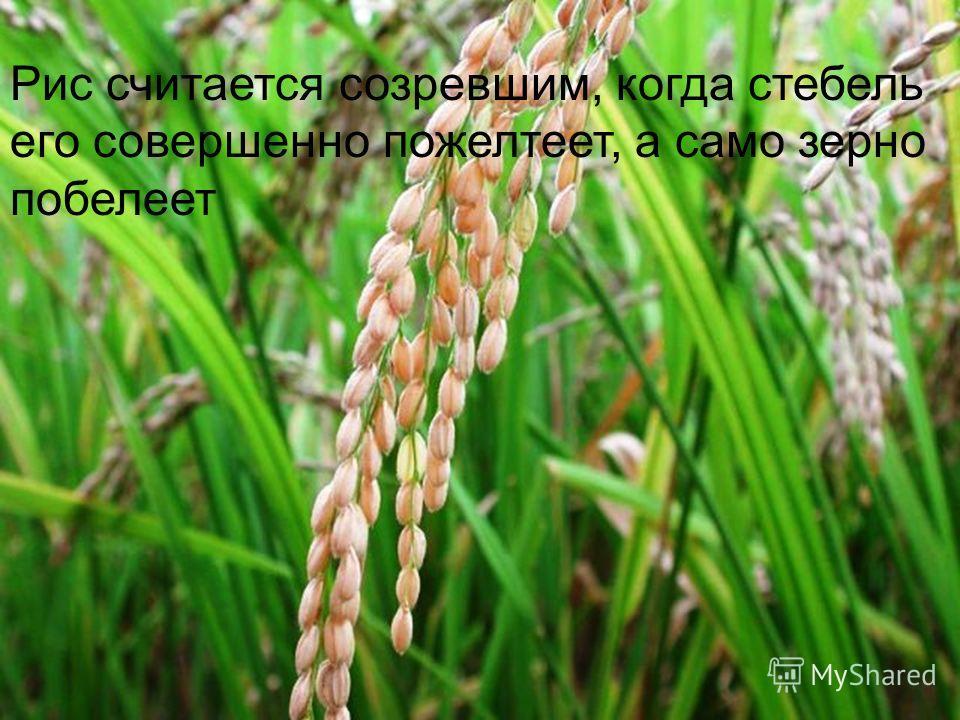 Еще нужно плантации пропалывать от сорняков. На многих плантациях в Китае и сегодня все эти работы производятся вручную