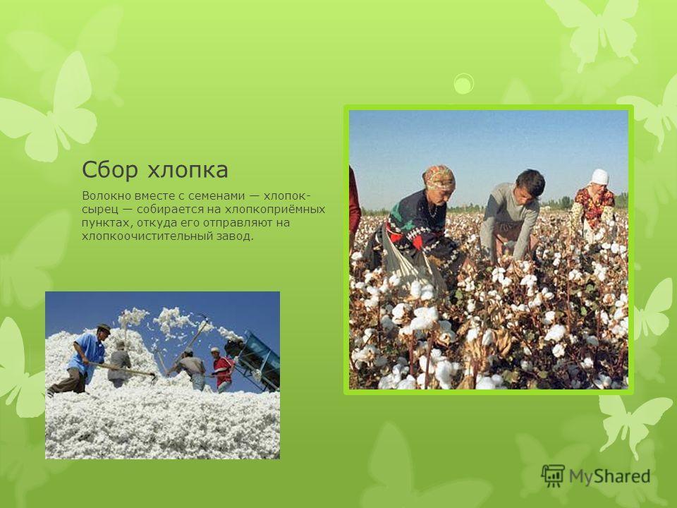 Сбор хлопка Волокно вместе с семенами хлопок- сырец собирается на хлопкоприёмных пунктах, откуда его отправляют на хлопкоочистительный завод.