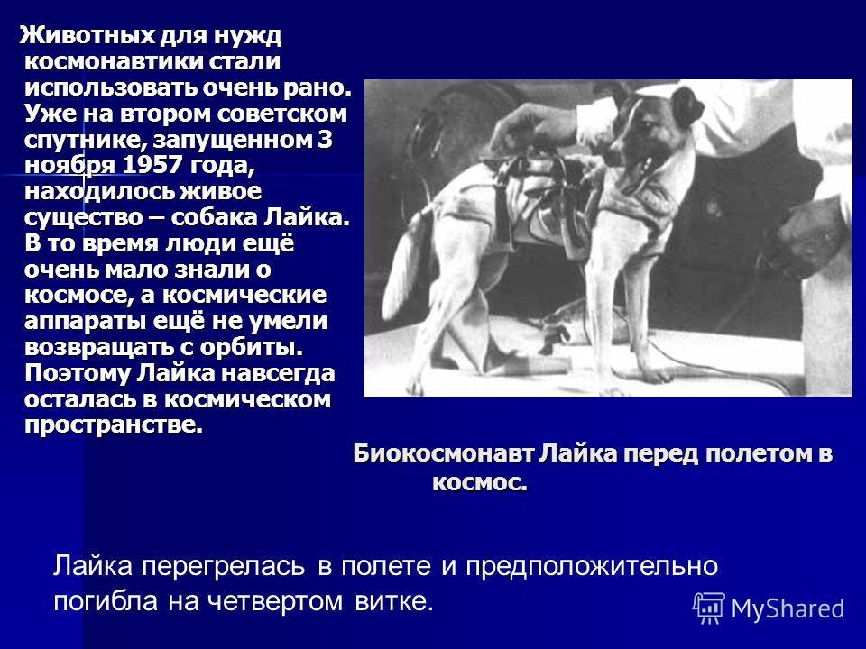 Биокосмонавт Лайка перед полетом в космос. Животных для нужд космонавтики стали использовать очень рано. Уже на втором советском спутнике, запущенном 3 ноября 1957 года, находилось живое существо – собака Лайка. В то время люди ещё очень мало знали о