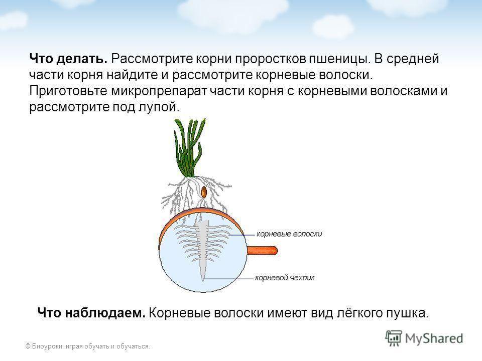 © Биоуроки: играя обучать и обучаться. Что делать. Рассмотрите корни проростков пшеницы. В средней части корня найдите и рассмотрите корневые волоски. Приготовьте микропрепарат части корня с корневыми волосками и рассмотрите под лупой. Что наблюдаем.