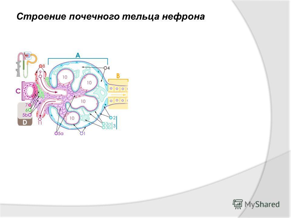 Строение почечного тельца нефрона