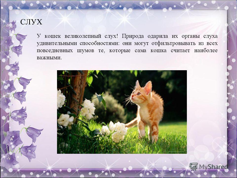СЛУХ У кошек великолепный слух! Природа одарила их органы слуха удивительными способностями: они могут отфильтровывать из всех повседневных шумов те, которые сама кошка считает наиболее важными.