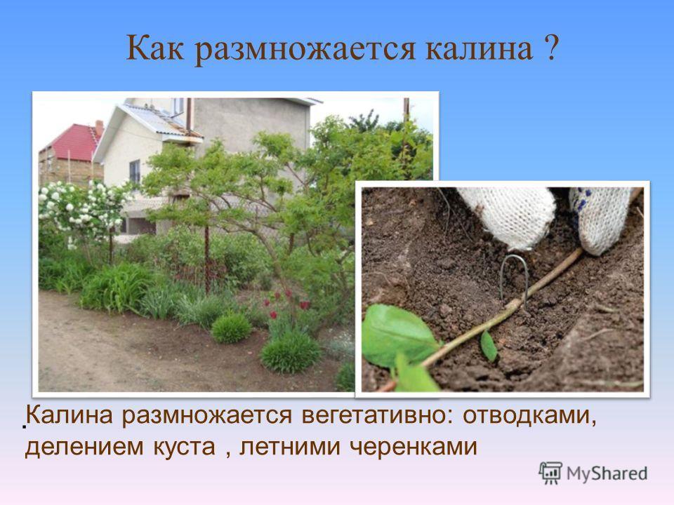 . Как размножается калина ? Калина размножается вегетативно: отводками, делением куста, летними черенками